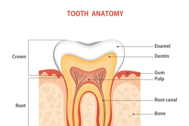 Everything Parents Need To Know About The 4 Layers Of Teeth Dr